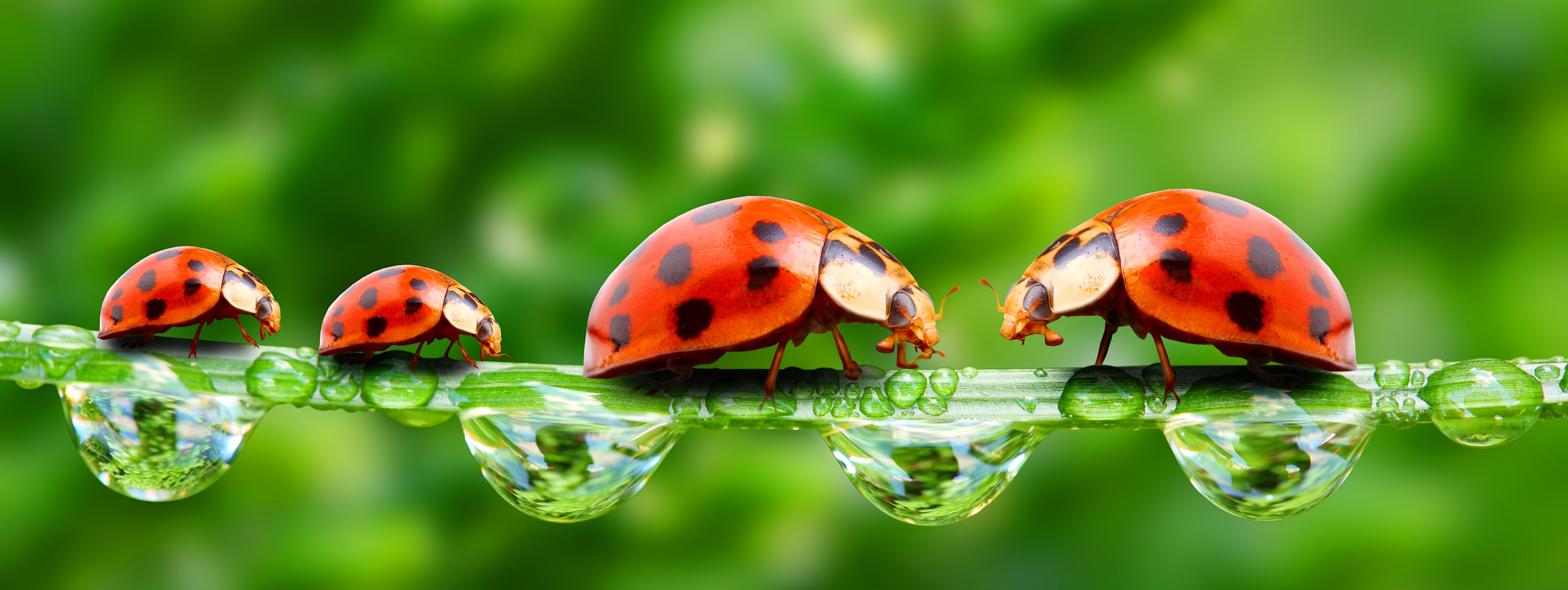 Ladybugs family on a grass bridge.